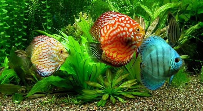 759a0ce7b96c15 Хранене на аквариумни рибки - изисквания към храната